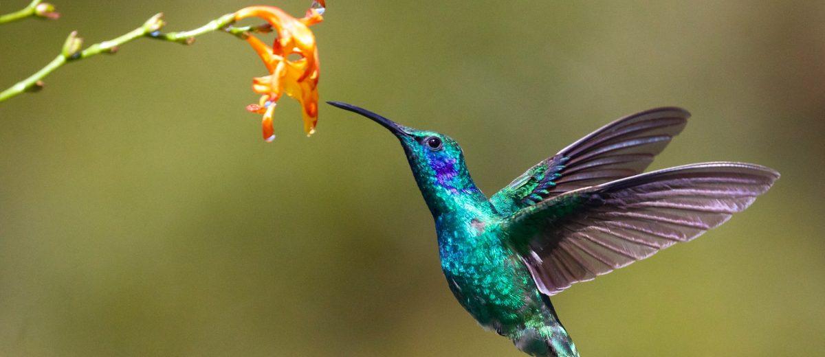 Hummingbird : flutter pour le web